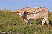 Texas Longhorn Exhibition_Steer - Fancy Flow - Photo Number: d_4926.jpg