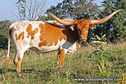 Texas Longhorn Dam - Jessie - Photo Number: d_5713.jpg