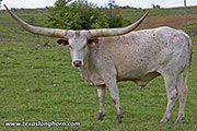 Watusi Exhibition_Steer - Tall Phantom - Photo Number: d_6614.jpg