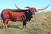 Texas Longhorn Reference_Sire - Clear Point - Photo Number: d_7454.jpg