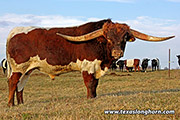 Texas Longhorn Reference_Sire - Time Line - Photo Number: d_8685.jpg