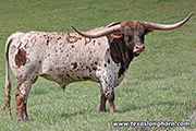 Texas Longhorn Reference_Sire - Tuxedo - Photo Number: e_0756.jpg