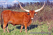 Watusi Bred_Cow - Natasha - Photo Number: e_10695.jpg