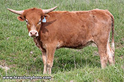Texas Longhorn Heifer-2017 - Mark of Juma x Clear Point - Heifer - Photo Number: e_1160.jpg