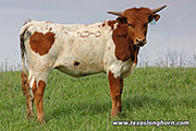 Texas Longhorn Heifer-2017 - Win x Drag Iron - 2017 Heifer - Photo Number: e_1168.jpg