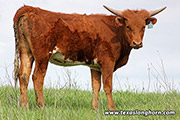 Texas Longhorn Heifer-2017 - Wizard Struck x Clear Point - Photo Number: e_1170.jpg