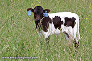 Pokey Pack Calf 2018 - Pokey Pack x Stop Already - 2018 Heifer - e_3390
