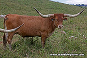 Texas Longhorn Dam - Dragon Pearl - Photo Number: e_4768.jpg