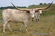 Watusi Exhibition_Steer - Tall Phantom - Photo Number: e_5913.jpg