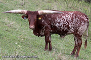 Watusi Bred_Cow - Kigoma - Photo Number: e_6135.jpg