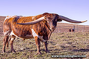 Texas Longhorn Sire - Cut'N Dried - Photo Number: f_13353.jpg