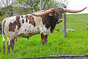 Texas Longhorn Sire - Drop Box - Photo Number: f_1901.jpg