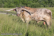 Texas Longhorn Sire - Tibbs - Photo Number: f_3992.jpg