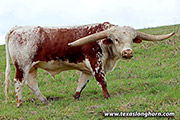 Texas Longhorn Sire - Point of Impact - Photo Number: g_0688.jpg