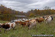 Texas Longhorn Herd at Nebraska pond near Fairview Ohio Dickinson Cattle Co.