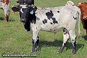 g_12716.jpg - Bruised Reed x Stop Already - 2020 Bull