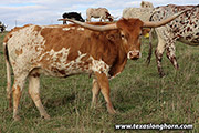 Texas Longhorn Dam - Bruised Reed - Photo Number: g_13179.jpg