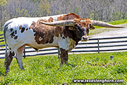 Texas Longhorn Sire - Point Mark - Photo Number: g_2350.jpg
