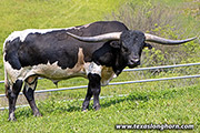 Texas Longhorn Sire - Stop Already - Photo Number: g_4478.jpg