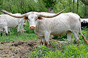 Texas Longhorn Exhibition_Steer - Fancy Flow - Photo Number: jb_1928.jpg