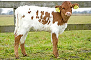 Diepenhoek Legendary Victory - Embryo Heifer born in the Netherlands