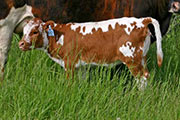 s_1621_calf.jpg - Quester x Mile Marker - 2006 Heifer