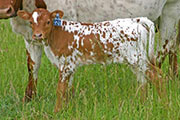 Noble Amends - Amenable x Victory Lap - 2006 Heifer - s_2367