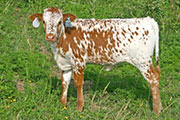 Limited Scope - High Hickory x Unlimited - 2007 Heifer - t_3133