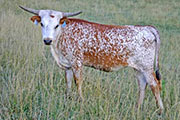 t_3550_s.jpg - Shot of Victory Yearling Heifer