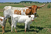 Texas Longhorn Dam - Special Blend - Photo Number: t_3664.jpg