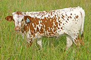 Limited Scope - High Hickory x Unlimited - 2007 Heifer - t_4730