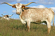 Texas Longhorn Dam - JuJu - Photo Number: t_6596.jpg