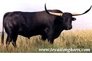 Texas Longhorn Sire - The Shadow - Photo Number: the_shadow.jpg