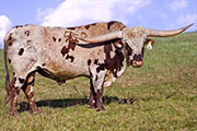 Texas Longhorn Reference_Sire - Tempter - Photo Number: v_5749_b.jpg