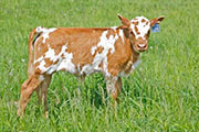 x_1683.jpg - Tempestuous x Fast Friend - 2011 Heifer