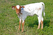 x_2873.jpg - Jamelle x Fast Friend - 2011 Heifer