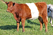 x_7254.jpg - Fin Up x Dip Stick - 2011 heifer