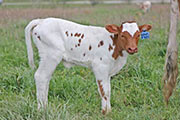 y_1206_s.jpg - Bowl of Roses x Win Win - 2012 Heifer