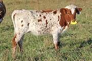 Fickle Hand - Over Fickled x Top Hand - 2013 Heifer - z_9230